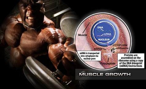 massa muscular ganhar